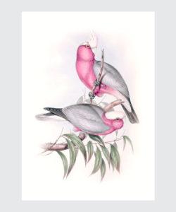 Plakat do pobrania Kakadu Różowa
