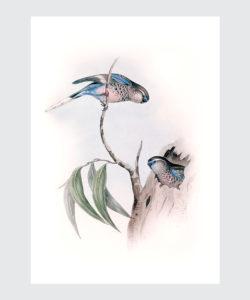 Plakat Liliowa Papużka